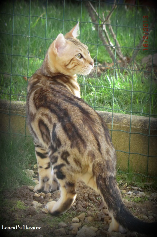 Bengals disponibles : chatons et adultes